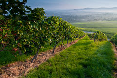 De zomer in een wijngaard Royalty-vrije Stock Foto's