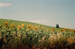 De zomer. Gebied. Zonnebloemen. Royalty-vrije Stock Foto