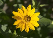 De zomer gele bloem Heliopsis helianthoides stock foto