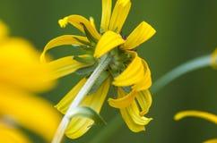 De zomer gele zonnebloem van de rug in een dicht omhooggaand beeld Stock Afbeeldingen