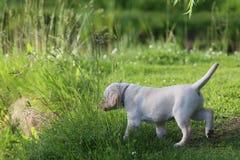 De zomer, groen gras en puppy Royalty-vrije Stock Foto's