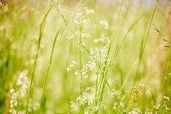 De zomer of de lente levendig macrobeeld met gras en wilde witte bloemen royalty-vrije stock fotografie
