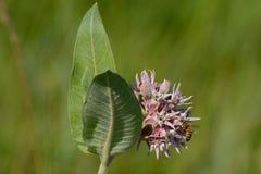 De zomer Milkweed van Asclepias-de bloemen van de speciosaverscheidenheid met bij royalty-vrije stock fotografie