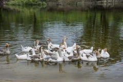 In de zomer op de rivier drijft een kudde van ganzen langs rive stock foto's