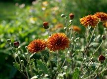 De zomer oranje chrysant Royalty-vrije Stock Fotografie