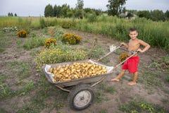 In de zomer, in de tuin, draagt een jongen in een kruiwagen een potat Royalty-vrije Stock Foto