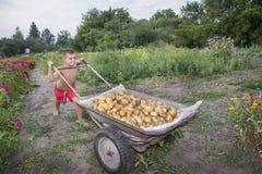 In de zomer, in de tuin, draagt een jongen in een kruiwagen een potat Stock Afbeeldingen