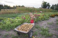In de zomer, in de tuin, draagt een jongen in een kruiwagen een potat Royalty-vrije Stock Afbeelding