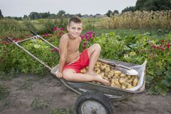 In de zomer, in de tuin, draagt een jongen in een kruiwagen een potat Royalty-vrije Stock Foto's