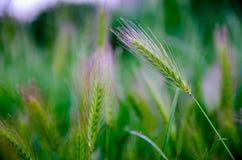 De zomer vaag groen de veerborstgras van Stipa bij zonsondergang Royalty-vrije Stock Foto's