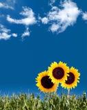 De Zomer van de zonnebloem Royalty-vrije Stock Foto's