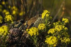 De zomer Weide Gele bloemen op de stenen Royalty-vrije Stock Afbeeldingen