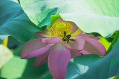 In de zomer, zijn de lotusbloembloesems in de vijver enkel als een fee stock afbeeldingen