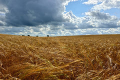 De zomer zonnig Landschap met korrelgebied in Rusland Stock Foto's