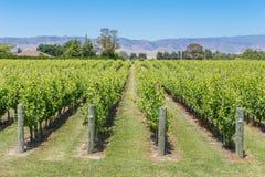 De zomer zonnige mening van een wijngaard Stock Foto's