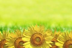 De zomerachtergrond, heldere gele zonnebloem over blauwe hemel Stock Afbeelding