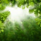 De zomerachtergrond met Groene Eiken Bladeren stock fotografie