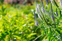 De zomerachtergrond met mooie blauwe bloemen Royalty-vrije Stock Foto's