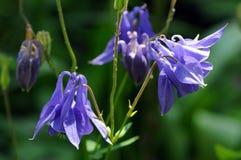 De zomerbloem als oma` s bonnet en akelei Aquilegia wordt bekend die royalty-vrije stock foto