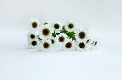 De zomerbloem: chrysant op witte achtergrond wordt geïsoleerd die Stock Foto
