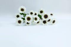 De zomerbloem: chrysant op witte achtergrond wordt geïsoleerd die Royalty-vrije Stock Foto's