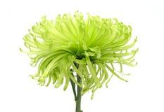 De zomerbloem: chrysant op witte achtergrond wordt geïsoleerd die Royalty-vrije Stock Fotografie