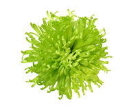 De zomerbloem: chrysant op witte achtergrond wordt geïsoleerd die Stock Fotografie