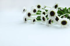 De zomerbloem: chrysant op witte achtergrond wordt geïsoleerd die Royalty-vrije Stock Afbeelding