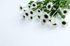 De zomerbloem: chrysant op witte achtergrond wordt geïsoleerd die Royalty-vrije Stock Afbeeldingen
