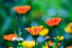 De zomerbloemen Royalty-vrije Stock Fotografie