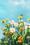 De zomerbloemen tegen een blauwe hemel Stock Afbeelding