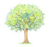 De zomerboom handdrawing geïsoleerd op wit Stock Foto