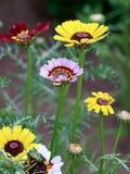 De zomerchrysant Royalty-vrije Stock Foto's