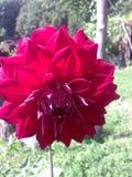 De zomerdahlia Royalty-vrije Stock Fotografie