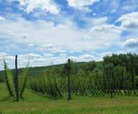 De zomergebied die van hop in de Staat van New York die voor de industrie van het ambachtbier moet worden geoogst groeien Royalty-vrije Stock Foto's