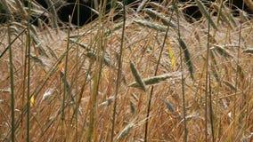De zomergebied, oren die van rogge in wind slingeren Royalty-vrije Stock Fotografie