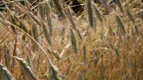De zomergebied, oren die van rogge in wind slingeren Royalty-vrije Stock Afbeelding