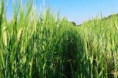 De zomergebied van gras Royalty-vrije Stock Afbeelding