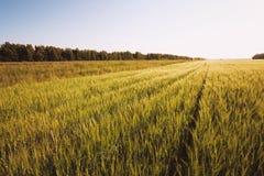 De zomergebied van gras Stock Afbeeldingen