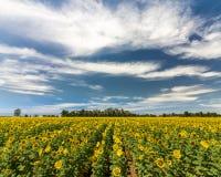 De zomergeheugen - Reuzezonnebloemgebied royalty-vrije stock foto's