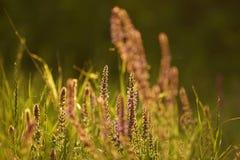 De zomergrassen royalty-vrije stock afbeeldingen