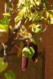 De zomerkleuren van maïs in een Alsacian-dorp royalty-vrije stock fotografie