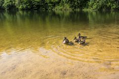 De zomerlandschap bij het meer en bos met spiegelbezinning Stock Afbeeldingen
