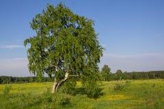 De zomerlandschap met berk op gebied Royalty-vrije Stock Foto's