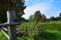 De zomerlandschap met houten omheining in gebied en tot bloei komende bloemen van een dogrose Royalty-vrije Stock Afbeeldingen