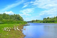 De zomerlandschap met rivier en weidende ganzen Stock Fotografie