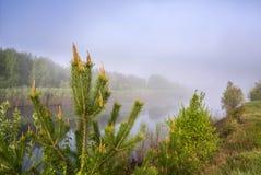 De zomerlandschap op de banken van de rivier Pijnboomtakken in de mist Royalty-vrije Stock Afbeeldingen