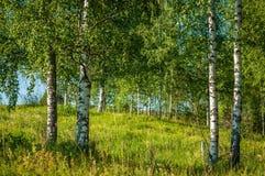 De zomerlandschap van de middensteeg Witte berkbomen op de helling tegen de blauwe hemel royalty-vrije stock foto