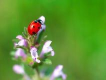 De zomerlieveheersbeestje op violette bloemen stock afbeeldingen