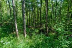 De zomerochtend in een groen bos Stock Afbeeldingen
